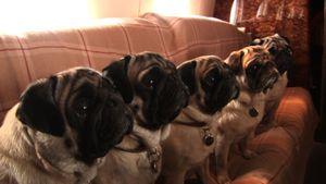 Valentino-pugs