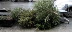 Xmas_trees_discarded_6